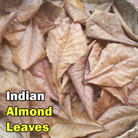 Catappa Indian Almond Dried Leaves for Aquariums Shrimps Fish Health Cleaner