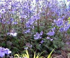 Polemonium Yezoense Purple Rain - 25 Seeds - Jacobs Ladder