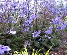 Polemonium Yezoense Purple Rain - 25 Seeds - Jacobs Ladder