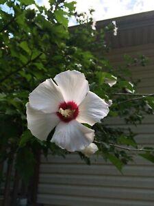 WHITE WITH CHERRY CENTER ROSE OF SHARON BUSH SHRUB 25 + Seeds  USA Seller