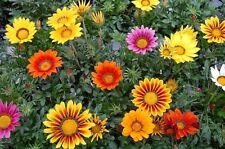 Gazania Seeds Logro Mix Flower Seeds 50 Seeds