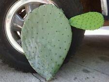 Large Opuntia Ficus Indica Monster Cactus Pad Nopal Castilla - Fruit Producing