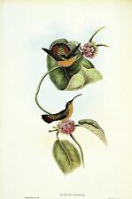 "1990 Vintage HUMMINGBIRD #6 ""MAZEPPA HERMIT"" GOULD COLOR Art Lithograph"