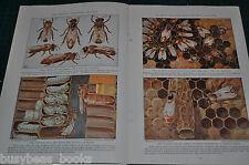 1935 magazine article, HONEYBEES, bees, honey production, worldwide, color art