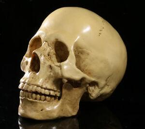 Lifesize Split Human Skull Resin Model Anatomical Skeleton Halloween Decor