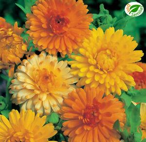 Calendula Doble ( Calendula officinalis ) 600 semillas - seeds - Caléndula