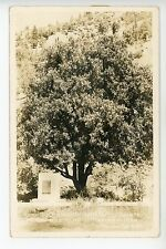 Mother Orange Tree of Butte County RPPC Oroville CA Vintage Photo ca. 1945