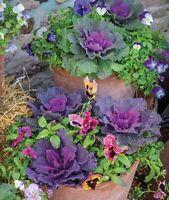 Ornamental Kale, Song Bird Kale Seeds 100+ SEEDS NON-GMO kale health food USA