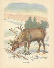 1899 Color Engraving a REINDEER Antique Art Print