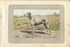 Stampa antica CANE BRACCO del BOURBONNAIS BRAQUE 1907 Old antique print dog