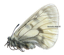 Unmounted Butterfly/Papilionidae - Parnassius mnemosyne giganteus, male