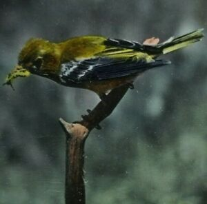 Yellow-throated Vireo Birds Bird American Small Songbird Photo Stereoview A258