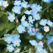 6 x Myosotis Sylva Blue 'Forget-me-not' Large Plug Plants, Biennial Border Plant
