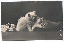 Cute White Persian Kittens CATS Photo CAT old Postcard
