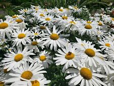 Giant Alaska Shasta Daisy-10 large healthy rooted plants organically grown