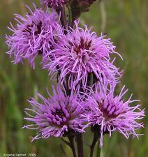 Meadow Blazing Star (Liatris ligulistylis) x 50 seeds. Perennial flower.