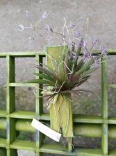 Macroclinium aurorae orchid plant BLOOM SIZE Thailand CITES PHYTO