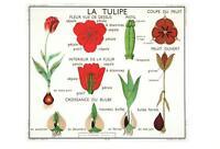RED TULIP POSTCARD - FRENCH LANGUAGE - LA TULIPE - NEW & PERFECT