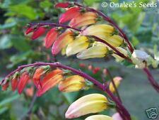 12+ Exotic Love Vine Seeds Vigorous Bloomer Mina Lobata