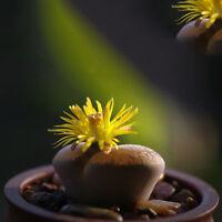 100 Rare Mix Lithops Samen Wohn Stones saftigen Kaktus Bulk Green Seeds Dek S8K9