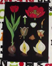 School Herbarium Póster Art Jung-Koch-Quentell Tulip Tulipán Flor Bombilla Rojo