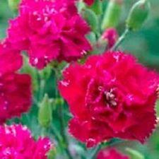 50 Carnation Seeds Chabaud Magenta Dianthus Flower Seeds