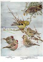 "1936 Vintage FUERTES BIRDS #78 ""REDPOLL, GOLDFINCH"" Color Art Plate Lithograph"