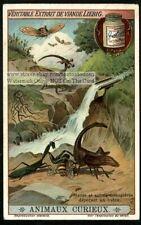 Praying Mantis Mantid Insects Nice c1915 Trade Ad Card