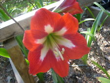 A Bundle of 12 Amaryllis offset bulbs from Christmas Star Hippeastrum Plant Lily