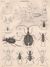 COLEOPTERA. Stag Beetle Wood/Slenderfooted Tiger Beetle Javanese Mormolyce 1898