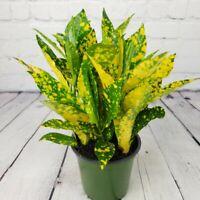"Croton Gold Dust Plant Indoor 4"" Pot Colorful Live Houseplant"