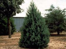 New listing Arizona Cypress 200 seeds. trees, seeds