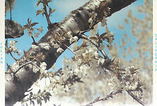 Cherry Blossoms  in the Orchards   of  Julian  California   Postcard 9264