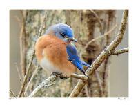 Bluebird Eastern Thrush Bird Portrait Photograph Print Poster Wall Art 8.5x11