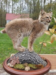 """Bobcat Full Mount 23"""" long with base Award Winning by Professional Taxidermist"""
