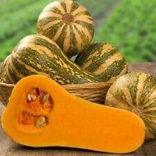Pumpkin Seeds - Barbara F1 - Russian Hybrid Vegetable NON GMO