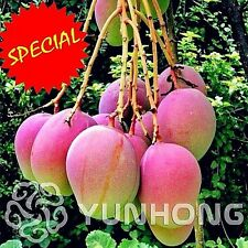 2 Pcs/bag Mango Seeds Mini Mango Tree Seeds Bonsai Tree Seed Organic Fruits