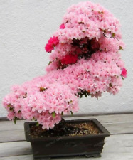 Tree Sakura Japanese Cherry Blossoms Flowers Pink Prunus Serrulata 10 Pcs Seeds