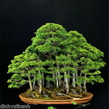 Perennial Juniper Bonsai Tree Seeds For Home Garden - 120 Seeds