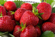 10 Quinault EverBearing Strawberry Plants- Great for hanging baskets/containers