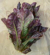 ORGANIC Super Red ROMAINE LETTUCE 600+ seeds tasty NON-GMO Heirloom