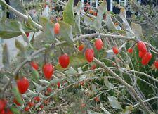 mehrjährige Gartenpflanze Exoten-Sämereien frosthart pflegeleicht GOJI-BEERRE