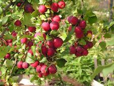 Miniapfel DOLGO, Kitaika, Apfelbaum Sibirische Renette, Siberian Apfel, Долго