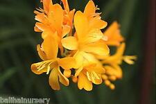 3 Crocosmia Paul's Best Yellow  very striking bright yellow flowers garden plant