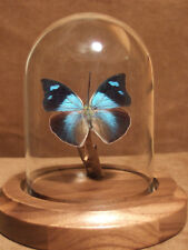 Memphis Leafwing Butterfly Dome