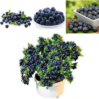 Lots 50Pcs Blueberry Tree Seed Fruit Blueberry Seed Potted Bonsai Seeds Plant