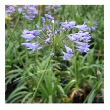 Agapanthus 'Blue Umbrella' /Agapanthus praecox orientalis / Nile Lily / 20 Seeds