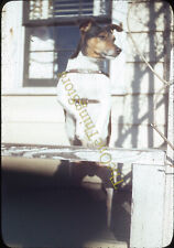 Jack Russell Terrier Dog 1940s 35mm Slide Red Border Kodachrome Brazilian