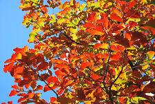 RARO árbol, Japonés EMPERADOR roble, Quercus Dentata, COLORES DE OTOÑO ,