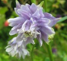 COLUMBINE (Aquilegia) LAVENDER SORBET Perennial Flower SEEDS
